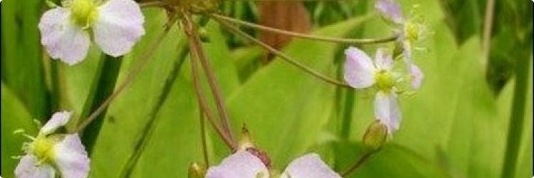 Использование частухи обыкновенной при лечении мочекаменной болезни