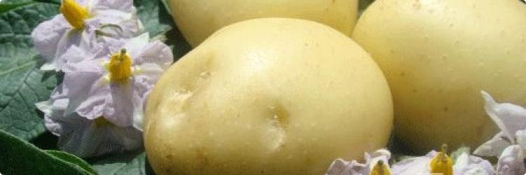Есть ли польза в цветках картофеля?