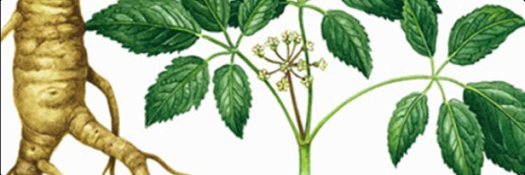 Почему растение элеутерококк применение нашло только в конце 50 – х?