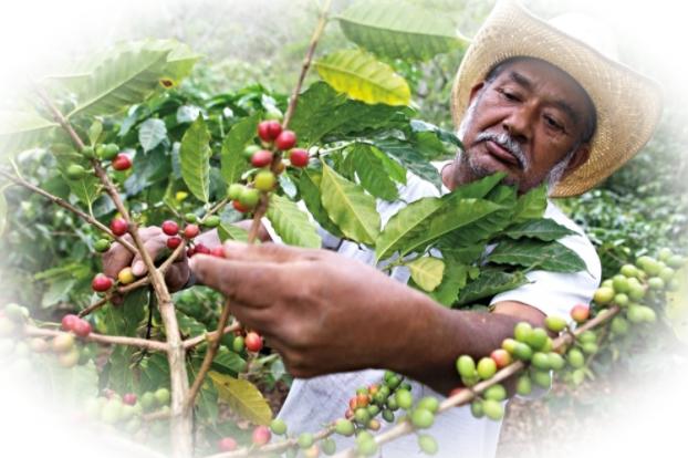 В чем польза зеленого кофе и как его добывают