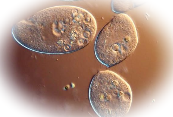 Характеристика простейших паразитов