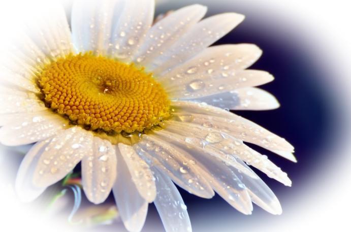 Ромашка лекарственная - полезные свойства и противопоказания