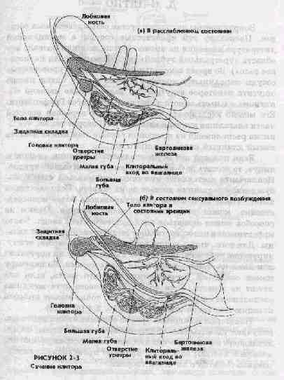 Стимуляция губки уретры оргазм